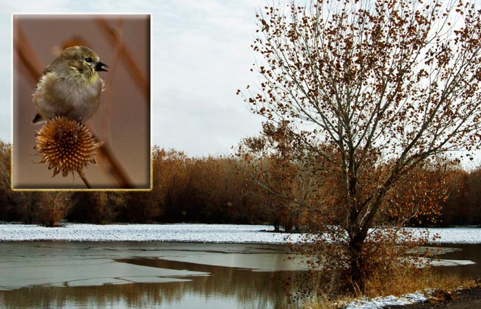 Photo of frozen pond and Goldfinch at Bosque del Apache Wildlife Refuge by Noella Ballenger