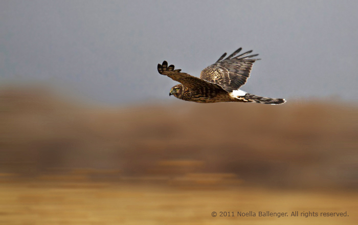 Photo of Northern Harrier fliying over field at Bosque del Apache by Noella Ballenger