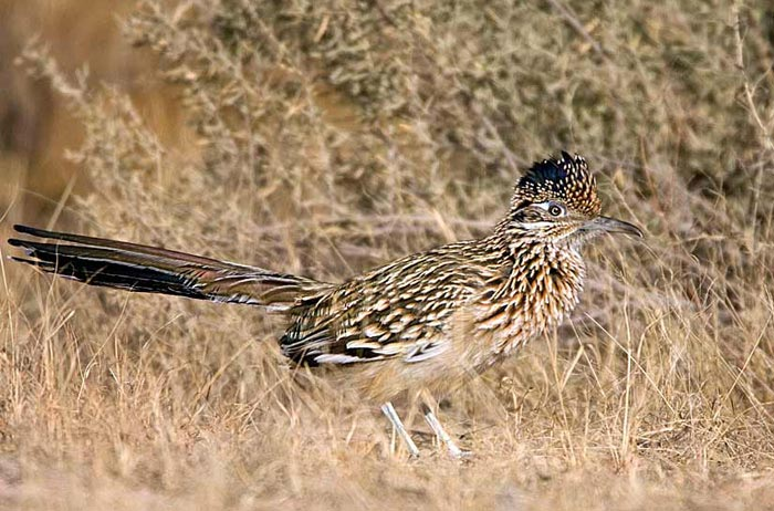 Photo of Greater Roadrunner at Bosque del Apache by Richard Mittleman