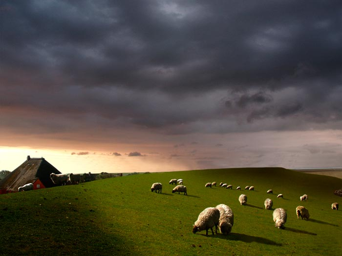 Landscape photo showing lower 1/3 horizon line: sheep grazing in a pasture with stormy clouds above by Gert Wagner.