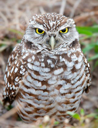 Close-up photo of a brown and white spotted Burrowing Owl sitting on the ground by Michael Leggero.