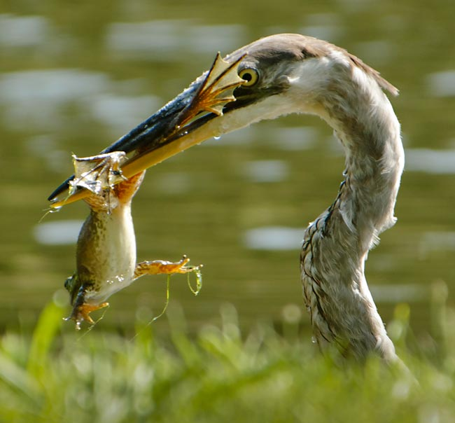 Florida Birds. Close-up photo of Great Blue Heron in the marsh with frog in it's beak by Michael Leggero.