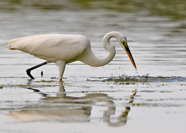 Reflection photo of a Great White Egret poking its beak in the water by Michael Leggero.
