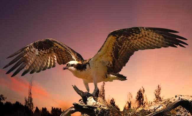 Photo of an Osprey with wings spread, landing on a dead tree branch by Michael Leggero.