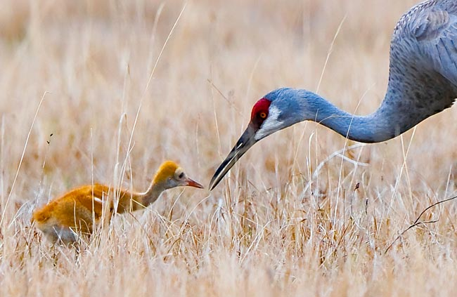 Photo of a blue Sandhill Crane reaching out to its young rusty colored colt by Michael Leggero.