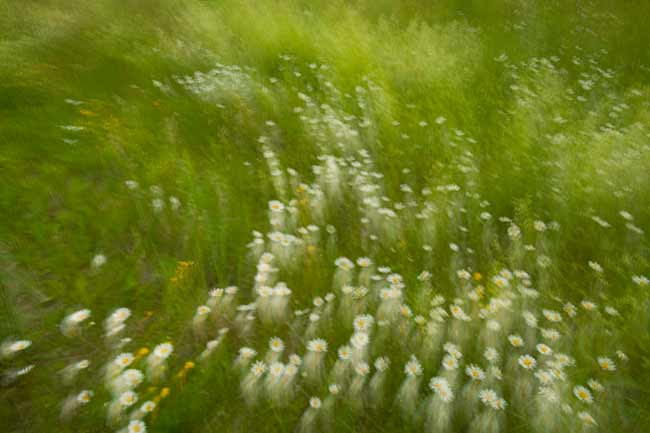Backyard Photography: Green field of daisies with swirling photo blur effect by Randall Romano