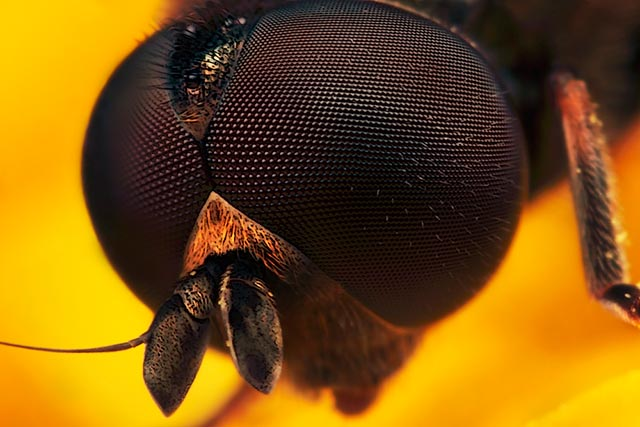 Microphotography composition: detailed head of Cheilosia male Hover Fly on yellow and orange flower petal by Huub de Waard.