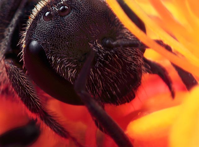 Microphotography composition: detailed head and legs of a Miner Bee standing in red and orange stamen of a flower by Huub de Waard.