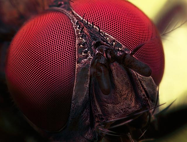 Microphotography composition: detailed head of Flesh Fly at an angle showing 'look room' by Huub de Waard.