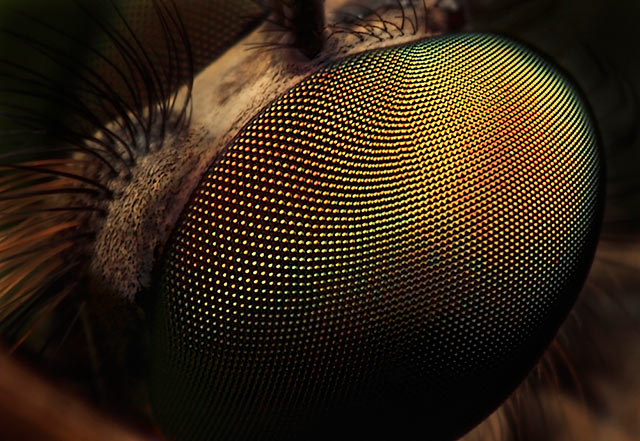Microphotography composition: extreme close-up and detailed eye of a large Robber Fly by Huub de Waard.