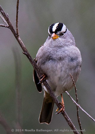 Photo of a Crowned Sparrow using a shallow depth of field by Noella Ballenger.