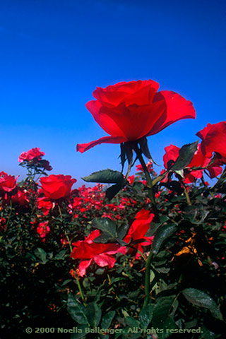 Photo of red roses at a commercial rose field in Central California by Noella Ballenger.