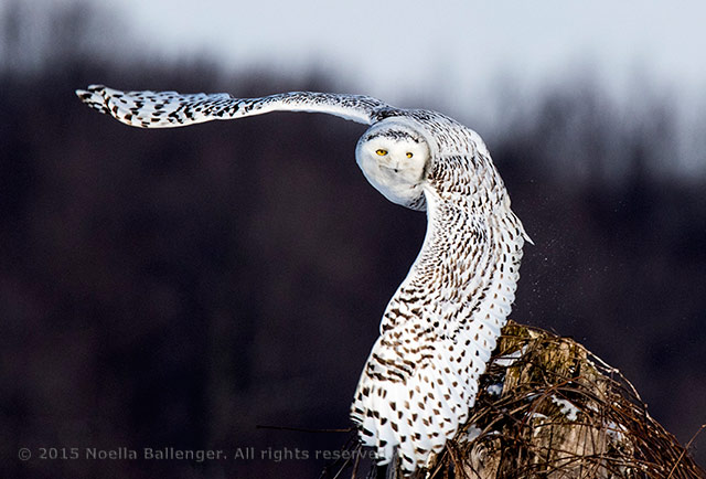 Photo of a Snowy Owl in flight in Ontario, Canada by Noella Ballenger.