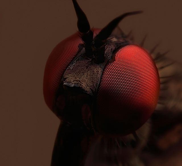 Daggerfly close up