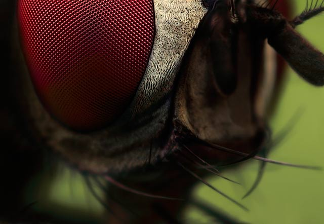 Fly close up microphotography