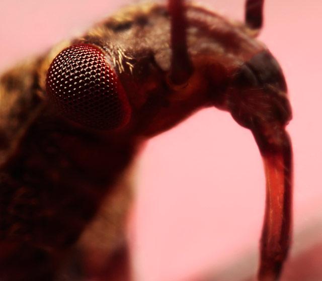 Huntingbug close up