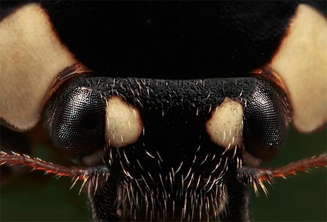 Ladybird close up