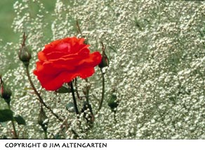 Image of a red rose and baby's breath flower placed in the image frame using the The Rule of Thirds In Photography by Jim Altengarten.