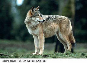 Image of wolf looking back and centerd in the image frame by Jim Altengarten.