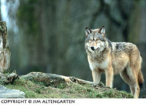 Image of wolf using counter culture placement in the image frame by Jim Altengarten.
