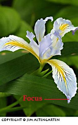 Depth of field: image of wild iris with poor focus by Jim Altengarten.