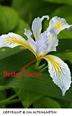 Depth of field: image of wild iris with better focus by Jim Altengarten.