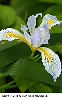 depth of field preview : image of wild iris with good focus by Jim Altengarten.