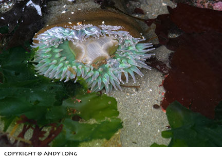 oregon coast photography -  tide pool life