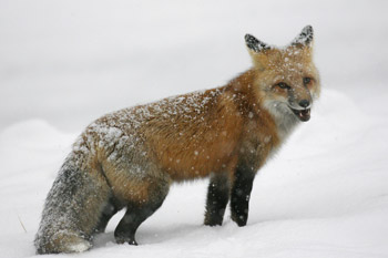 The falling snow does not diminish this foxes attitude.