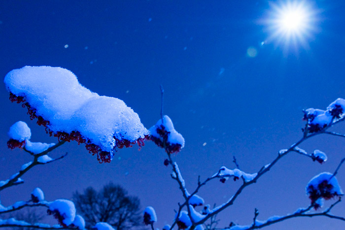 Night photo of Hamamelis branches with snow and moon at Kalmthout Arboretum in Belgium by Edwin Brosens
