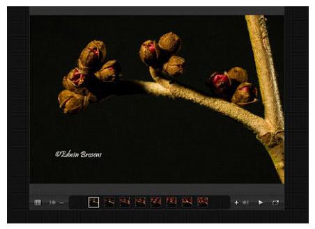 Photo of Hamamelis flowers linking to slideshow of flowers opening by Edwin Brosens