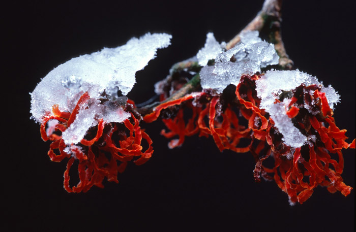 Close-up photo of Hamamelis with ice on top at Kalmthout Arboretum in Belgium by Edwin Brosens