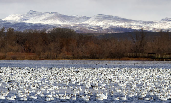 Scenic photo of snow geese on pond at Bosque del Apache Wildlife Refuge by Noella Ballenger