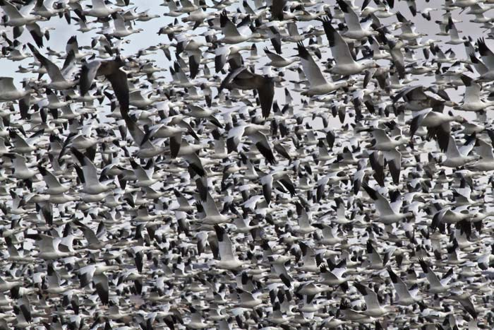 Photo of hundreds of snow geese taking flight from pond at Bosque del Apache Wildlife Refuge by Noella Ballenger