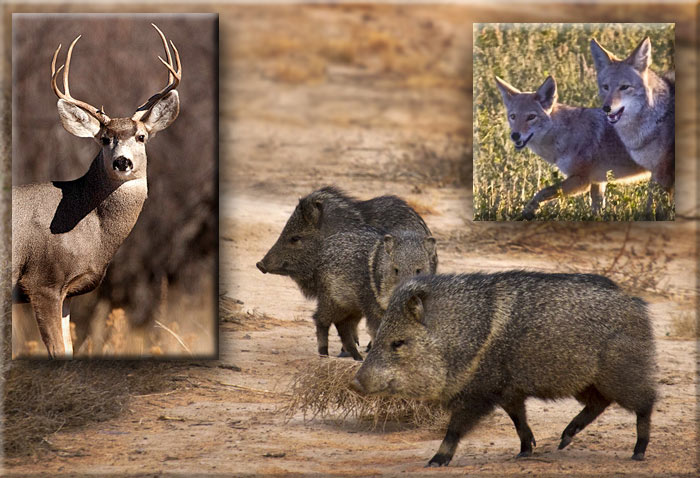 Photo of deer by Richard Mittleman and photos of javelinas and coyotes by Noella Ballenger