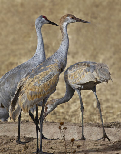 Photo of juvenile and adult Sandhill Cranes in field at Bosque del Apache Wildlife Refuge by Noella Ballenger