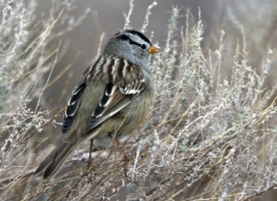 Photo of White-crowned Sparrow at Bosque del Apache Wildlife Refuge by Noella Ballenger