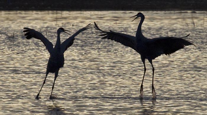 Silhouette photo of courting Sandhill Cranes on pond at Bosque del Apache Wildlife Refuge by Noella Ballenger