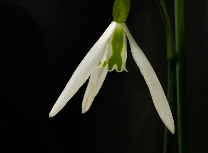 Macro photo of Snowdrop white flower by Edwin Brosens
