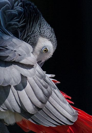 Close-up bird photo of African Grey Parrot with red tail feathers by Colin Dunleavy.