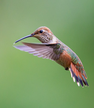 Bird photo of colorful Allens Hummingbird in flight by Colin Dunleavy.