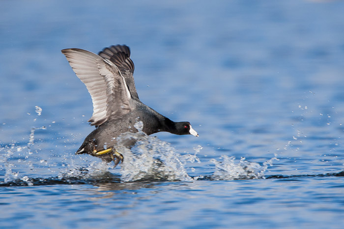 Bird photo of American Coot running on top of water by Colin Dunleavy.