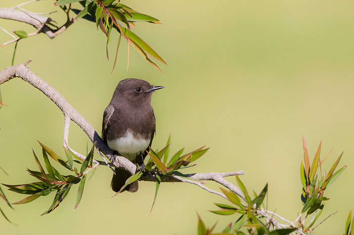 Bird photo of Black Phoebe perched on branch of tree by Colin Dunleavy.