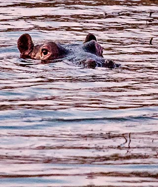 Close-up portrait of the top of a hippo's head on the surface of the water in Pilanesberg National Park in South Africa by Noella Ballenger.