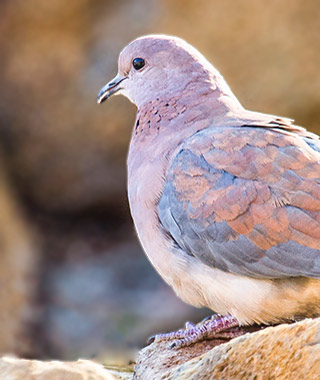 Close-up of a Laughing Dove perched on a rock in Pilanesberg National Park in South Africa by Noella Ballenger.