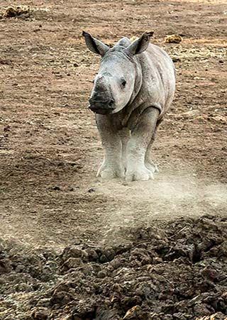 A rhino baby kicks up the dust in Pilanesberg National Park in South Africa by Noella Ballenger.