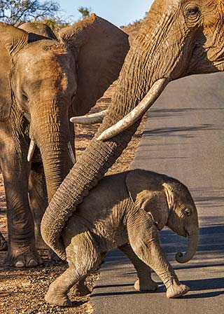 Mother elephant gives her baby a boost so it can cross the road in Pilanesberg National Park in South Africa by Noella Ballenger.