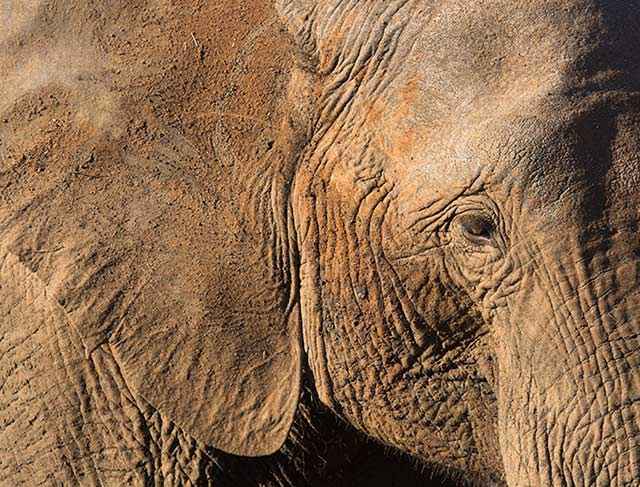 Close-up portrait of an elephant in Pilanesberg National Park in South Africa by Noella Ballenger.