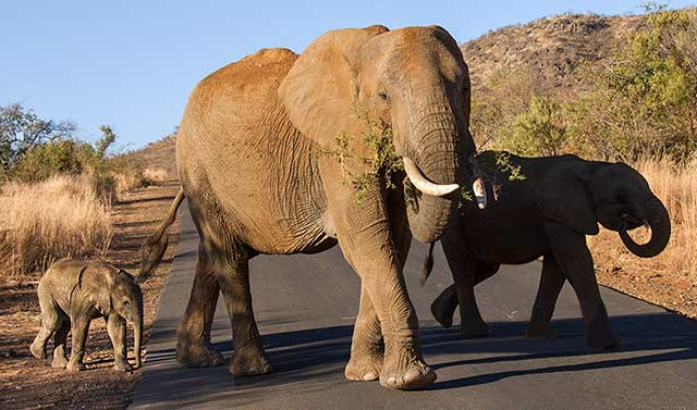 Three generations of elephants crossing the road in Pilanesberg National Park in South Africa by Noella Ballenger.
