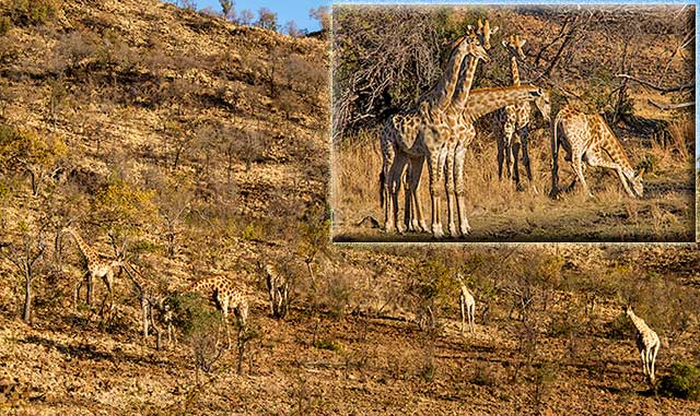 Photo collage of multiple giraffes on a hillside at Pilanesberg National Park in South Africa by Noella Ballenger.